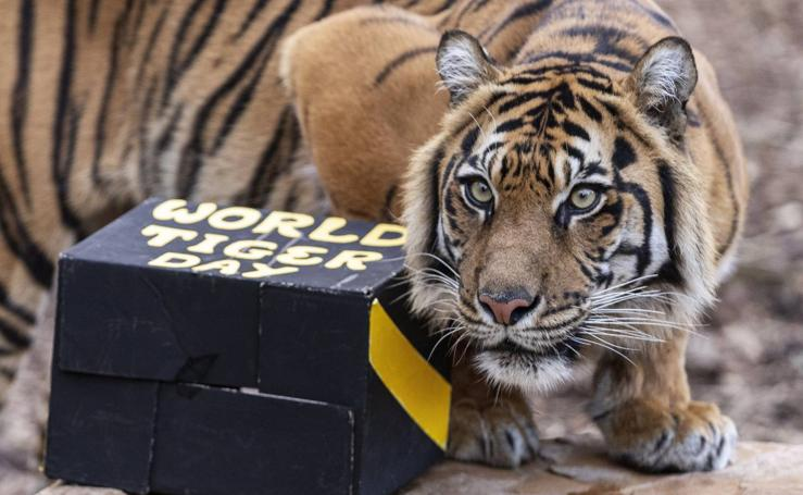 Día Internacional del tigre en Australia