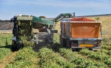 La bajada de la producción mundial alivia al tomate extremeño