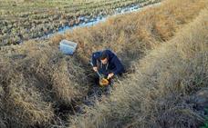 Sobrevivir al asedio de la fauna exótica en los campos de arroz