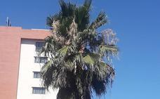Quejas por las palmeras de Virgen de Guadalupe de Cáceres