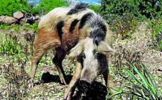 Resuelven la paradoja del cerdo europeo