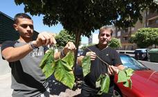 La resina de los árboles enfermos de Prointisa en Mérida ensucian las calles y coches