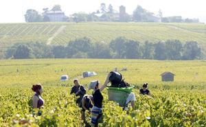 Unos 150 extremeños parten a finales de mes a la vendimia francesa