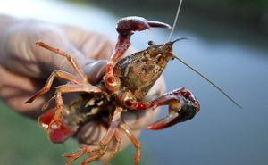 Aprehenden en un polígono de Burgos 718 kilos de cangrejo rojo procedente de Extremadura