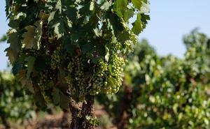 Los viticultores de Almendralejo estudian denunciar a la DO Cava
