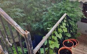 Detienen a un vecino de Reina que tenía cultivadas 80 plantas de marihuana en el patio de su casa