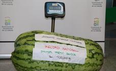 El récord de la sandía se queda en algo más de 99 kilos en Villanueva
