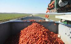 Extremadura exporta el 80 por ciento de la producción de tomate