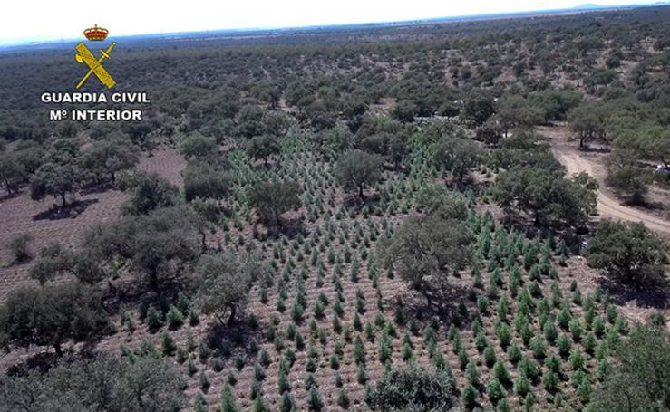 22.000 plantas de cánnabis en la dehesa extremeña