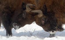 La cuna del bisonte europeo