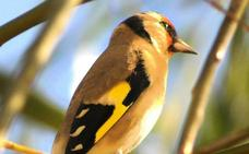 Las aves cantoras siguen en peligro