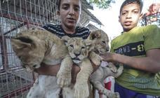 Tres leones recién nacidos en Gaza