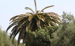 El Ayuntamiento de Guareña alerta del peligro del picudo, que ya ha invadido una palmera