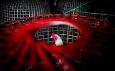 Peleas de gallos en Tailandia