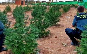 La Guardia Civil encuentra 740 plantas de marihuana ocultas en una finca de Montijo