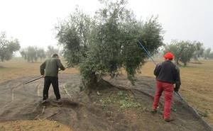La producción de aceite de oliva en España aumentará en torno a un 40%