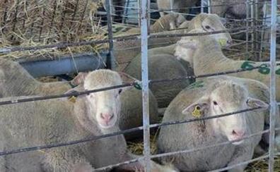 Los costes del ovino de carne subieron en 38 millones de euros por las sequías, según estudio