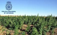 Tres detenidos y 2.000 plantas de marihuana intervenidas en una parcela cerca de Mérida