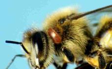 Aumenta la incidencia de la varroa en la apicultura extremeña