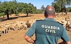 La Guardia Civil detiene a un vecino de Jerez por el robo de 140 corderos