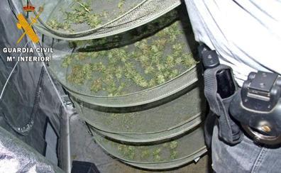 Detenidos cuatro vecinos de Azuaga y Cabeza del Buey por cultivo de marihuana