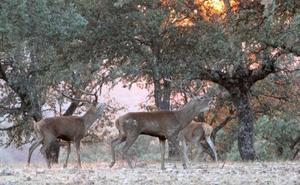 La ronca de los gamos marca el inicio de temporada de caza en Extremadura