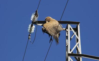 Extremadura recibirá 463.851 euros para adaptar tendidos eléctricos que eviten la electrocución de aves