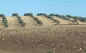 Convocan una tractorada por los daños que causan las cabras en fincas de Mérida