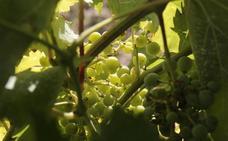 La Junta abona 7,5 millones de euros a 439 agricultores para la reestructuración del viñedo
