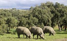 Los ganaderos retrasan la entrada del cerdo en montanera por falta de agua