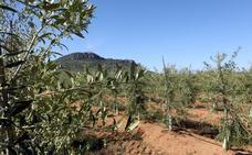 Una nueva almazara producirá hasta 6.300 toneladas de aceite al año en Lobón