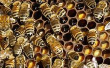 Junta, cooperativas apícolas y organizaciones agrarias constituyen un grupo operativo contra la varroa