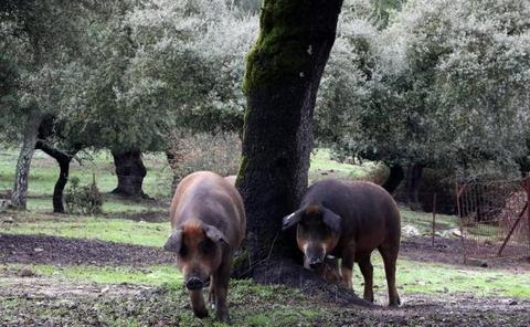 El porcino español ha crecido un 31% en los últimos cinco años