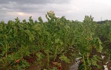 Daños en cosechas de tabaco y pimentón en La Vera y Campo Arañuelo