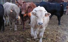 Expuesto a consulta pública el decreto para el IGP de Ternera y Vaca de Extremadura