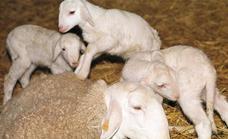 Más cordero y menos lana