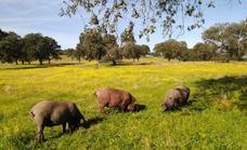 Anunciadas las condiciones de manejo de animales con designación de productos de bellota