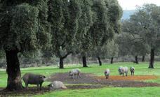 El cordero y el porcino, la cara y la cruz de la ganadería en la crisis del coronavirus