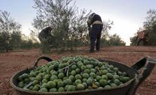 A por la 'tercera revolución' oleícola: así será el olivar dentro de 15 años