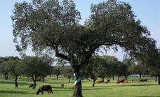 Diez millones de euros para la regeneración de la dehesa extremeña
