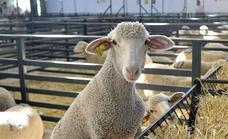 La Diputación de Badajoz participa en la subasta de ganado merino de La Siberia