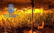 Desmantelan una plantación de marihuana con casi 500 plantas en Calamonte
