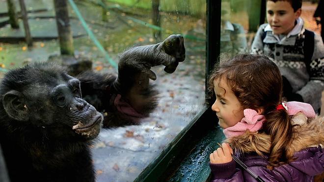 La herencia genética marca la inteligencia de los chimpancés
