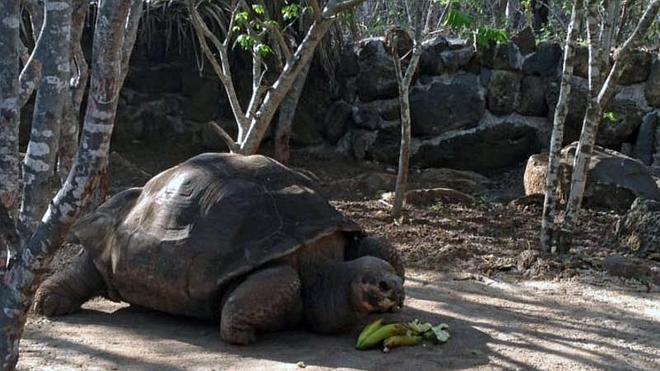 Muere la tortuga gigante 'Pepe, el misionero', un símbolo de las Islas Galápagos