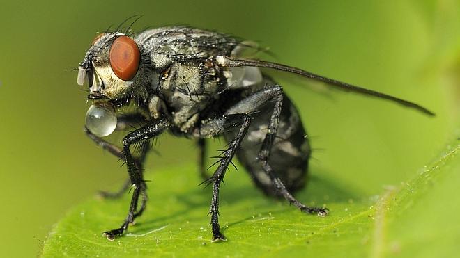 Un estudio afirma que los humanos y las moscas tienen mecanismos moleculares comunes
