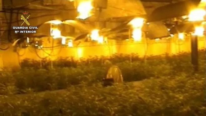 Intervienen una plantación de 12.000 plantas de marihuana