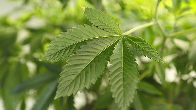Navarra legaliza el cannabis en los clubes de consumidores