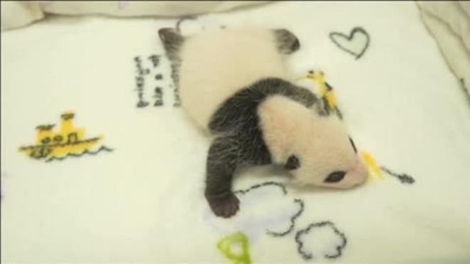 Macao presenta a los gemelos que la gigante panda Xin Xin dio a luz el mes pasado