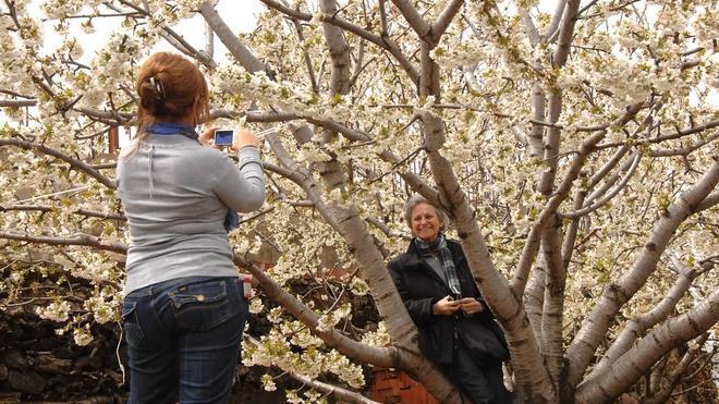 El cerezo florecerá a final de mes