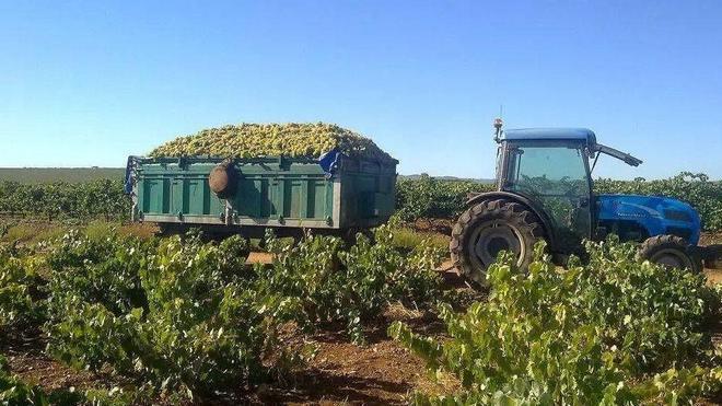 Comienza la vendimia de uva blanca macabeo en la comarca de Tierra de Barros